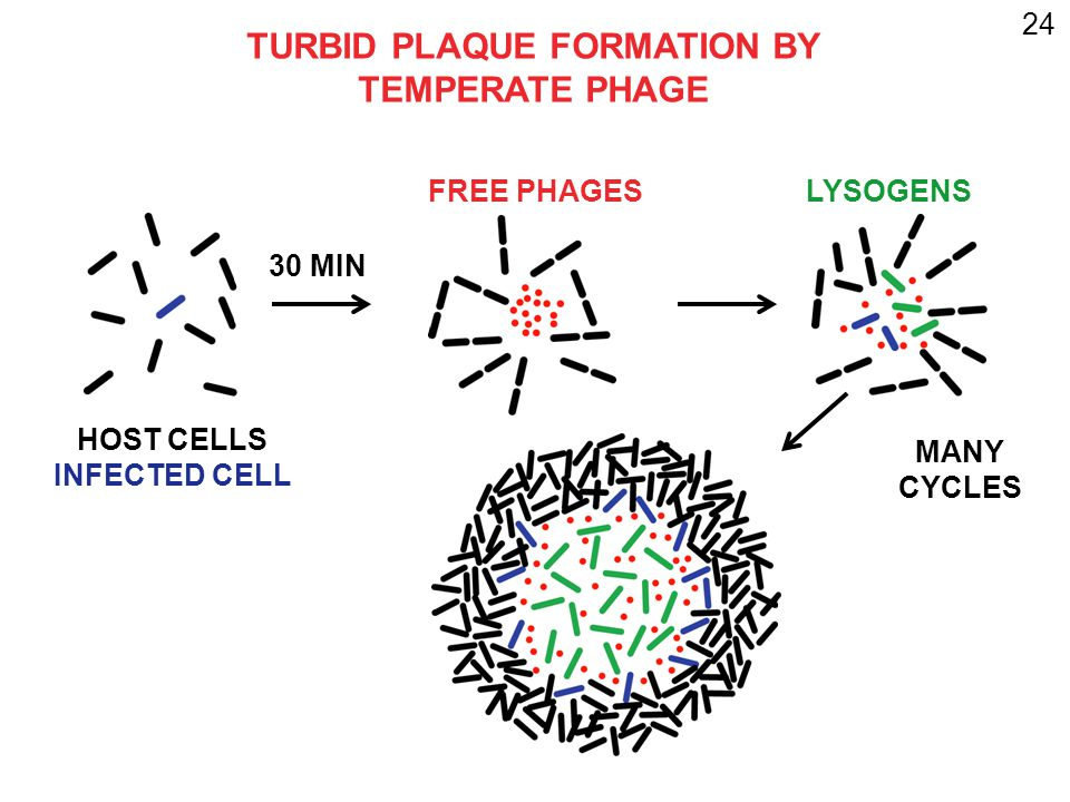 24 HOST CELLS INFECTED CELL 30 MIN FREE PHAGESLYSOGENS TURBID PLAQUE FORMATION BY TEMPERATE PHAGE MANY CYCLES