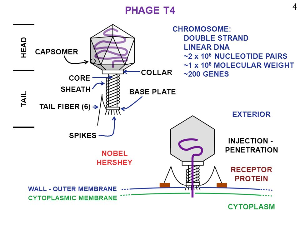 4 PHAGE T4 HEAD TAIL CAPSOMER CORE SHEATH COLLAR BASE PLATE TAIL FIBER (6) SPIKES CHROMOSOME: DOUBLE STRAND LINEAR DNA ~2 x 10 5 NUCLEOTIDE PAIRS ~1 x 10 8 MOLECULAR WEIGHT ~200 GENES EXTERIOR CYTOPLASM WALL - OUTER MEMBRANE CYTOPLASMIC MEMBRANE RECEPTOR PROTEIN INJECTION - PENETRATION NOBEL HERSHEY