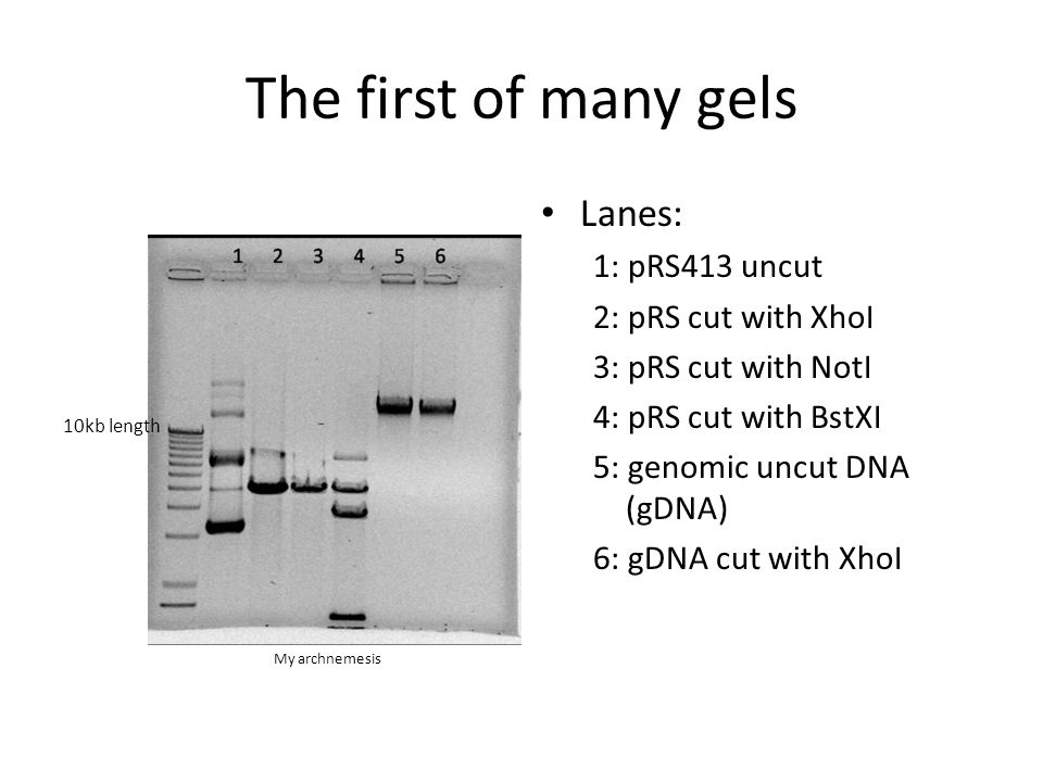 The first of many gels Lanes: 1: pRS413 uncut 2: pRS cut with XhoI 3: pRS cut with NotI 4: pRS cut with BstXI 5: genomic uncut DNA (gDNA) 6: gDNA cut with XhoI 10kb length My archnemesis