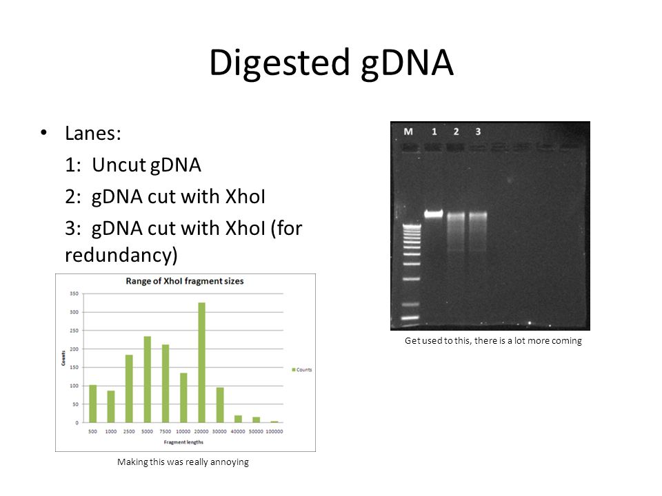 Digested gDNA Lanes: 1: Uncut gDNA 2: gDNA cut with XhoI 3: gDNA cut with XhoI (for redundancy) Making this was really annoying Get used to this, there is a lot more coming