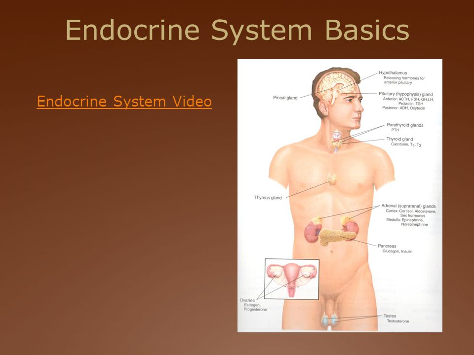 Endocrine System Basics Endocrine System Video