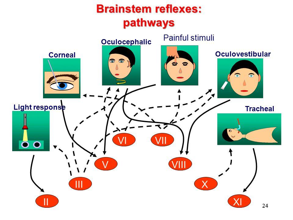II III V VIVII VIII X XI Light response Corneal Oculocephalic Oculovestibular Brainstem reflexes: pathways Painful stimuli Tracheal 24