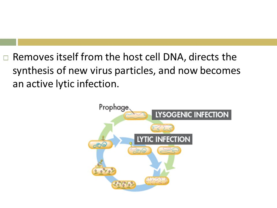  Removes itself from the host cell DNA, directs the synthesis of new virus particles, and now becomes an active lytic infection.