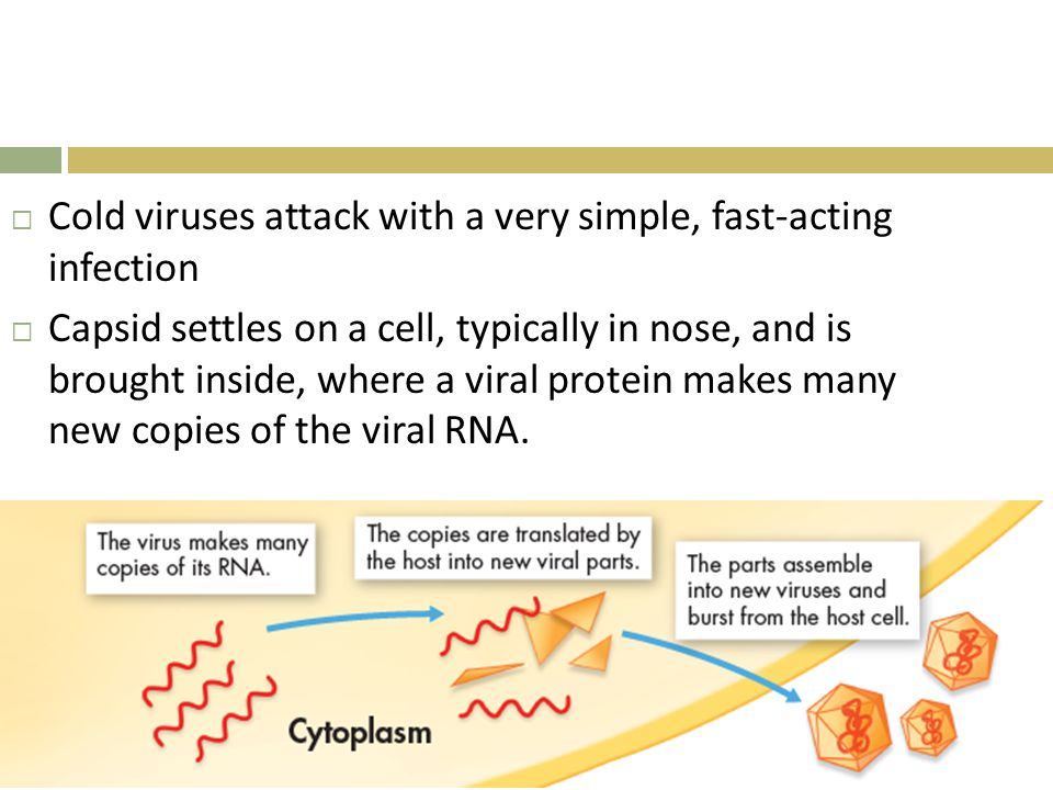  Cold viruses attack with a very simple, fast-acting infection  Capsid settles on a cell, typically in nose, and is brought inside, where a viral protein makes many new copies of the viral RNA.