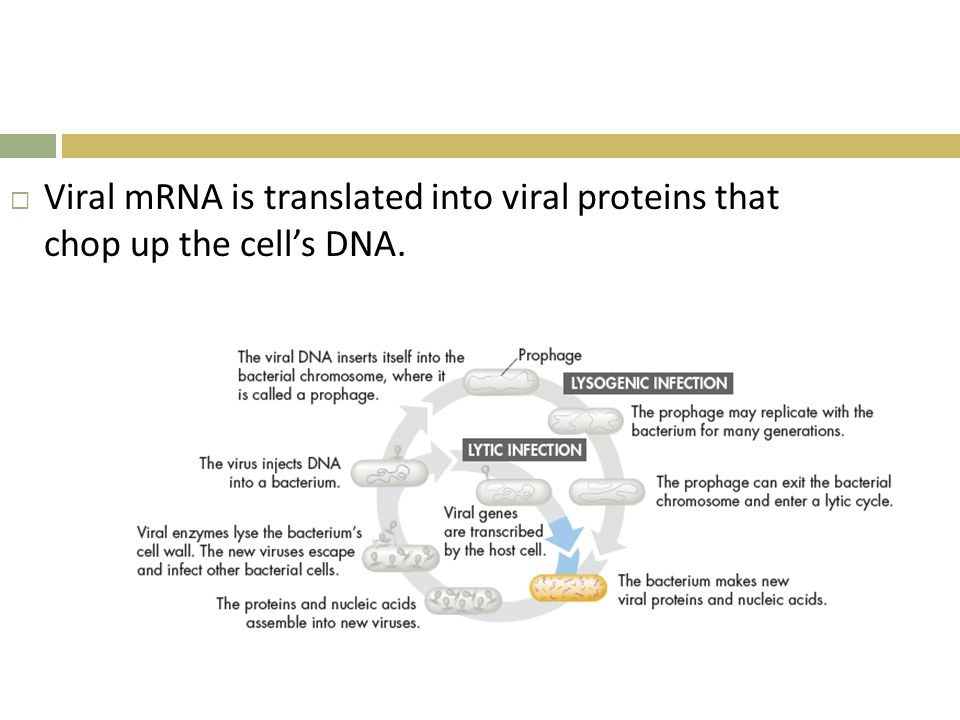  Viral mRNA is translated into viral proteins that chop up the cell's DNA.
