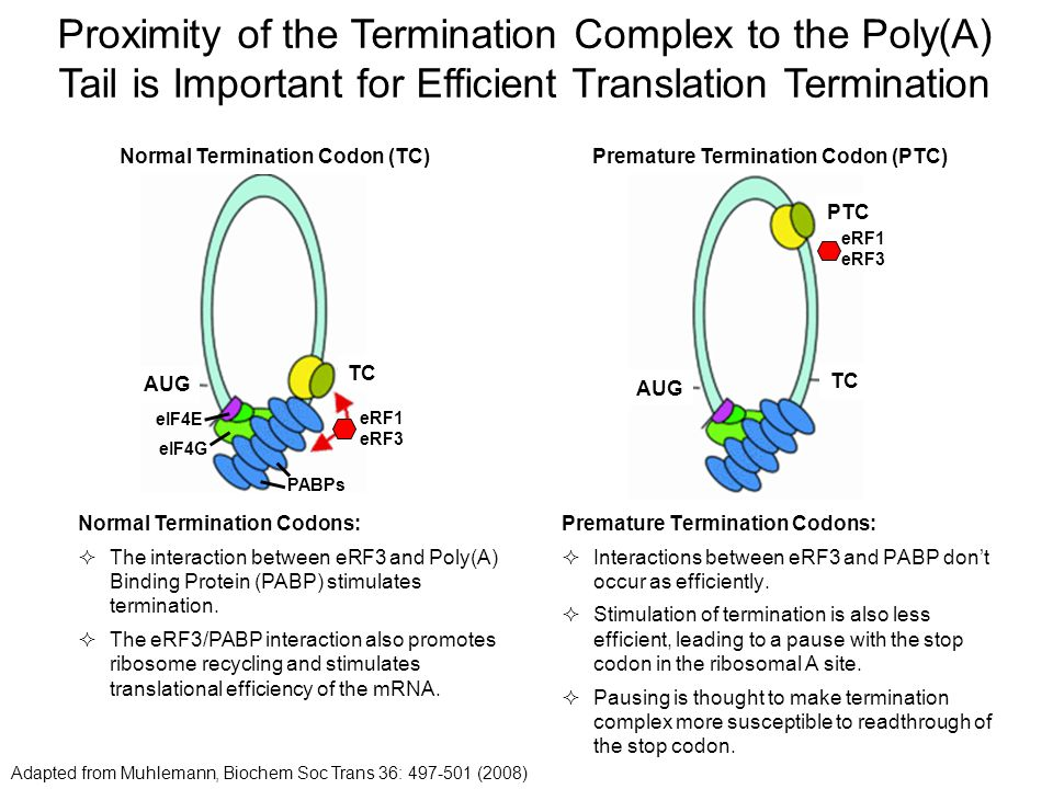 Proximity of the Termination Complex to the Poly(A) Tail is Important for Efficient Translation Termination Adapted from Muhlemann, Biochem Soc Trans