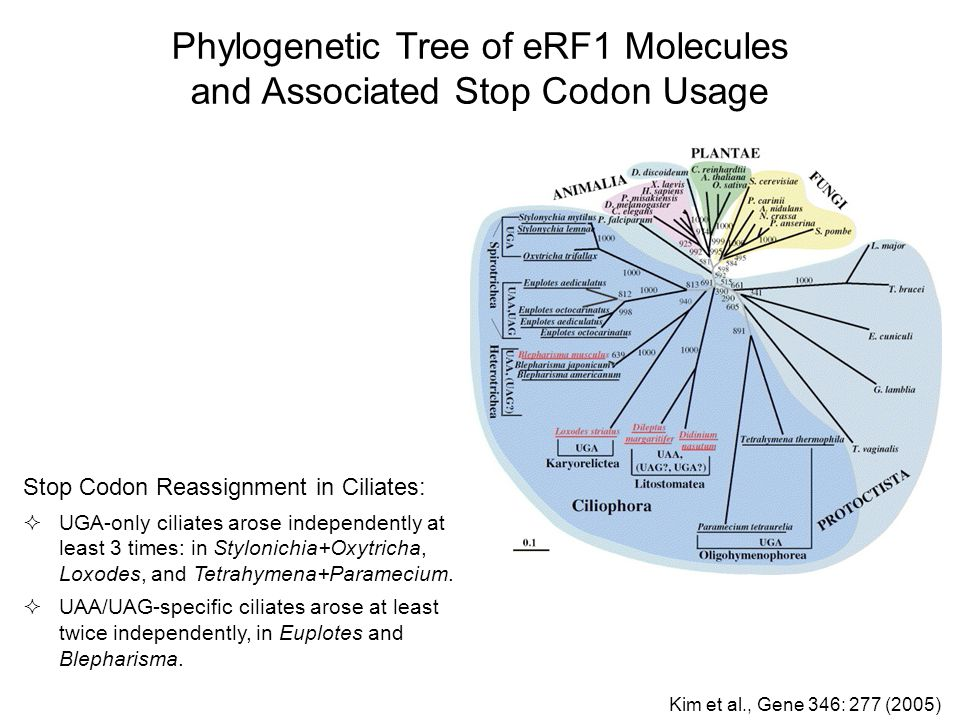 Phylogenetic Tree of eRF1 Molecules and Associated Stop Codon Usage Stop Codon Reassignment in Ciliates:  UGA-only ciliates arose independently at le