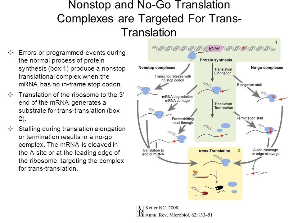 Nonstop and No-Go Translation Complexes are Targeted For Trans- Translation  Errors or programmed events during the normal process of protein synthes