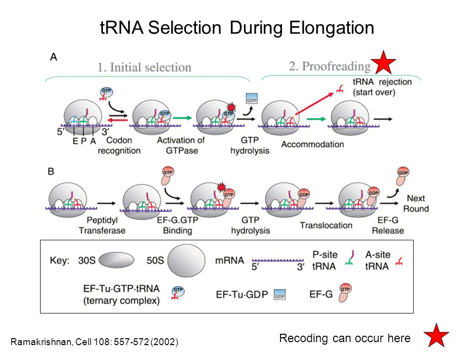 tRNA Selection During Elongation Ramakrishnan, Cell 108: 557-572 (2002) Recoding can occur here