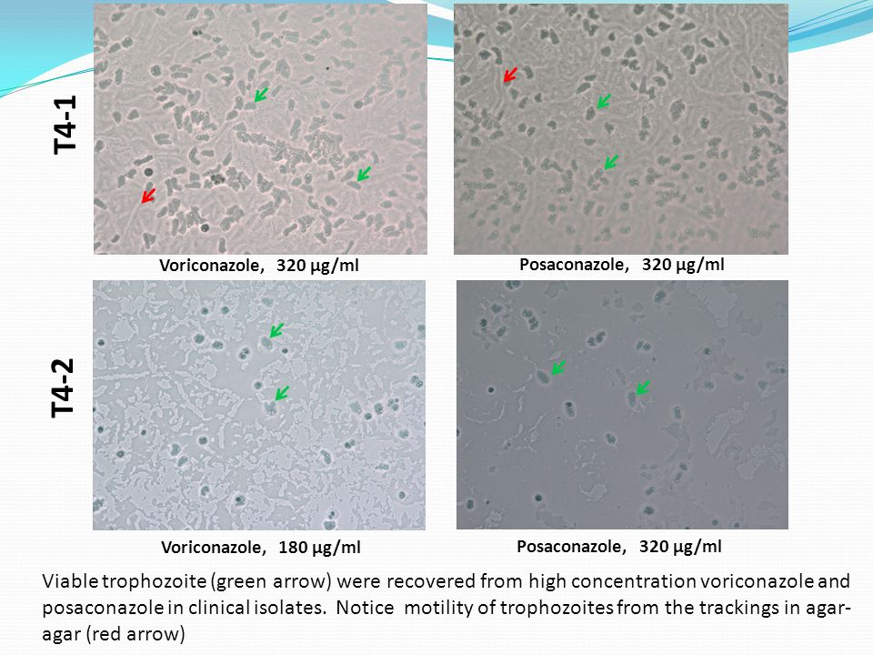 T4-1 T4-2 Voriconazole, 320 µg/ml Voriconazole, 180 µg/ml Posaconazole, 320 µg/ml Viable trophozoite (green arrow) were recovered from high concentration voriconazole and posaconazole in clinical isolates.