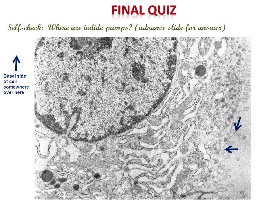 Self-check: Where is thyroglobulin iodinated?(advance slide for answer)