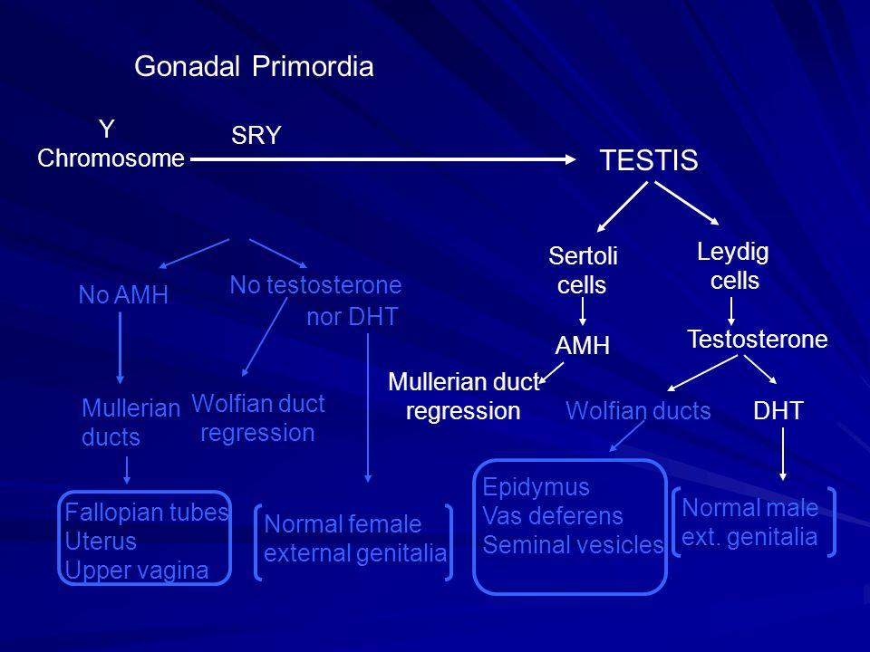 Gonadal Primordia Y Chromosome TESTIS SRY Leydig cells Sertoli cells Testosterone AMH Mullerian duct regression Wolfian ductsDHT Epidymus Vas deferens
