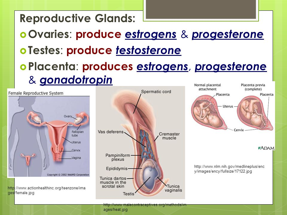 Reproductive Glands:  Ovaries : produce estrogens & progesterone  Testes : produce testosterone  Placenta : produces estrogens, progesterone & gona
