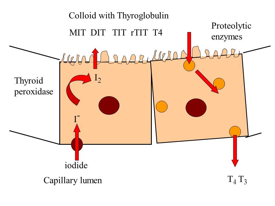 Colloid with Thyroglobulin Capillary lumen iodide I-I- T 4 T 3 I2I2 Thyroid peroxidase MIT DIT TIT rTIT T4 Proteolytic enzymes