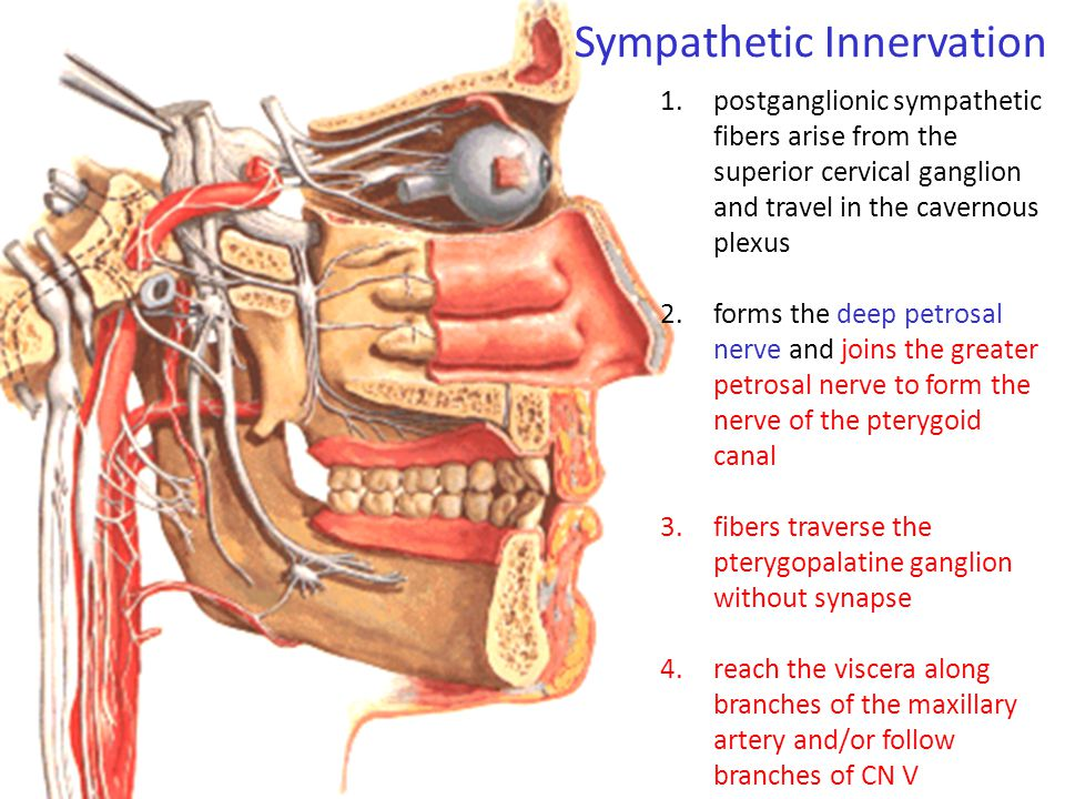 Sympathetic Innervation 1.postganglionic sympathetic fibers arise from the superior cervical ganglion and travel in the cavernous plexus 2.forms the d