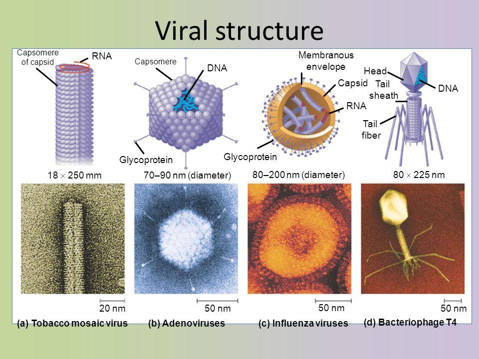 Viral structure 18  250 mm 70–90 nm (diameter) 80–200 nm (diameter) 80  225 nm 20 nm50 nm (a) Tobacco mosaic virus(b) Adenoviruses(c) Influenza viruses (d) Bacteriophage T4 RNA Capsomere of capsid DNA Capsomere Glycoprotein Membranous envelope Capsid DNA Head Tail fiber Tail sheath