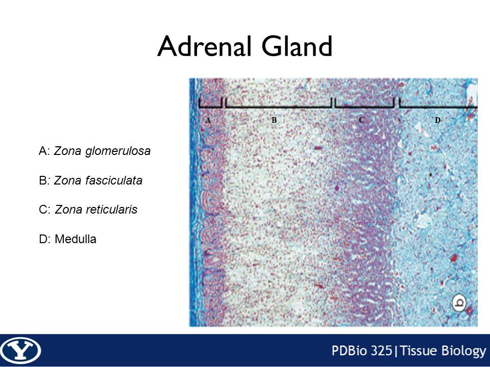 Adrenal Gland ABCD A: Zona glomerulosa B: Zona fasciculata C: Zona reticularis D: Medulla