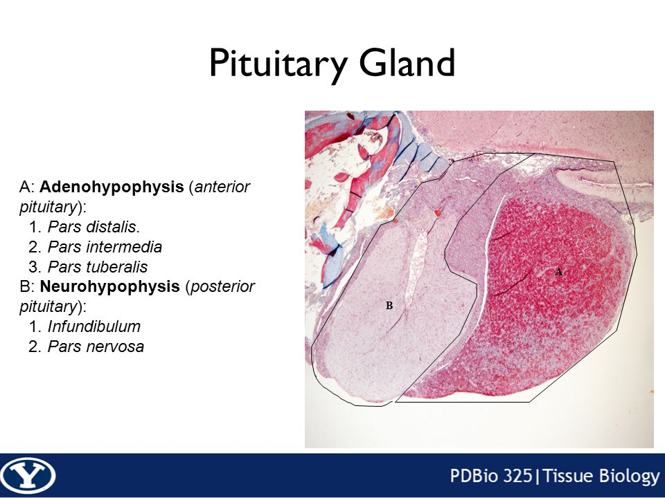 Review Anterior Pituitary FSH LH ACTH TSH GH Prolactin Posterior Pituitary ADH Oxytocin Thyroid T3 and T4 CalcitoninParathyroid PTHPancreas Glucagon Insulin Somatostatin Pancreatic Peptide Stomach GastrinAdrenal Aldosterone Cortisol DHEA Argentaffin Cell CCK Secretin Serotonin Know the following hormones, where they are secreted, their function, and target organ.