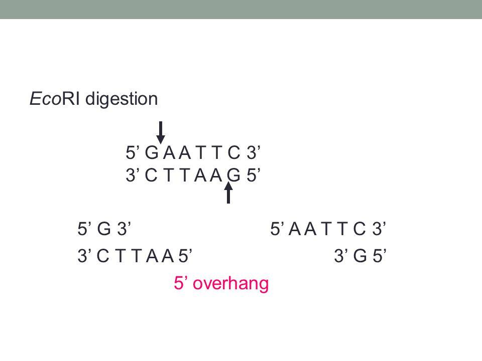 EcoRI digestion 5' G A A T T C 3' 3' C T T A A G 5' 5' G 3'5' A A T T C 3' 3' C T T A A 5' 3' G 5' 5' overhang