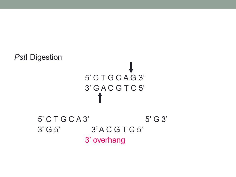 PstI Digestion 5' C T G C A G 3' 3' G A C G T C 5' 5' C T G C A 3' 5' G 3' 3' G 5' 3' A C G T C 5' 3' overhang
