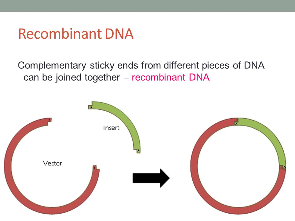 Recombinant DNA Complementary sticky ends from different pieces of DNA can be joined together – recombinant DNA