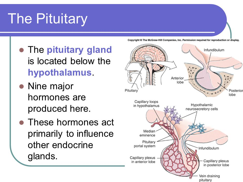 The Pituitary The pituitary gland is located below the hypothalamus. Nine major hormones are produced here. These hormones act primarily to influence