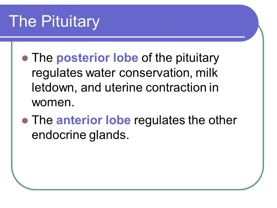 The Pituitary The posterior lobe of the pituitary regulates water conservation, milk letdown, and uterine contraction in women. The anterior lobe regu