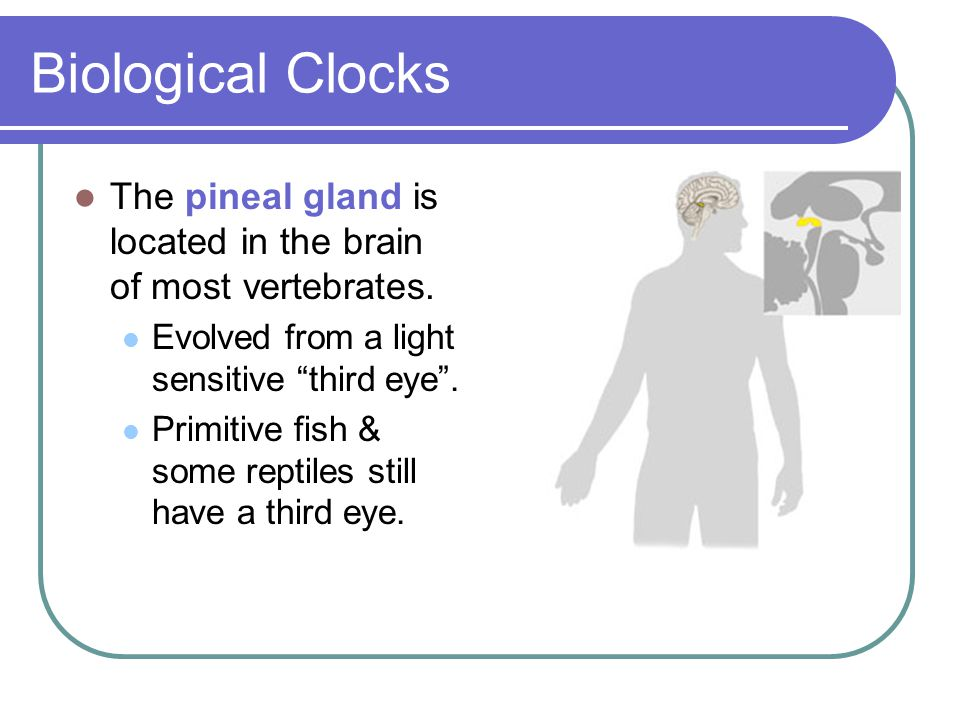 "Biological Clocks The pineal gland is located in the brain of most vertebrates. Evolved from a light sensitive ""third eye"". Primitive fish & some rept"