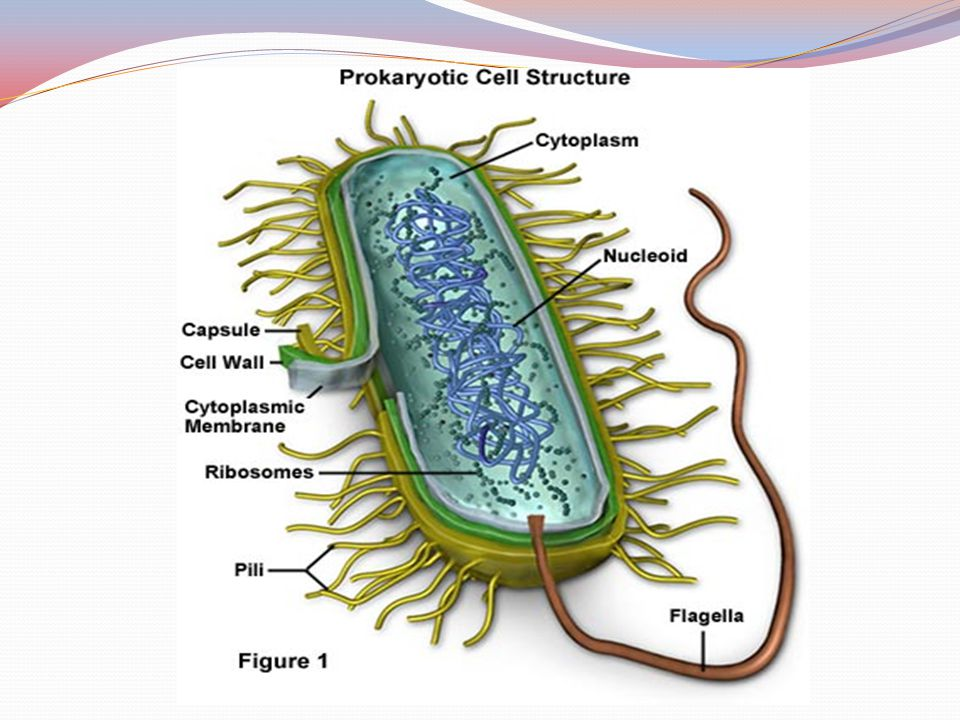 FUNCTIONSTRUCTURE protects the cell and gives shapeCell Wall protects the cell against some antibiotics (only present in Gram negative cells) Outer Membrane regulates movement of materials into and out of the cell; contains enzymes important to cellular respiration Cell Membrane contains DNA, ribosomes, and organic compounds required to carry out life processes Cytoplasm a region where it carries genetic information inherited from past generations nucleoid protects the cell and assist in attaching the cell to other surfaces Capsule, and slime layer assist the cell in attaching to other surfaces, which is important for genetic recombination Pilus (Pili) moves the cellFlagellum contains some genes obtain through genetic recombinationPlasmid