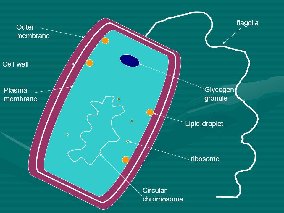 flagella Glycogen granule Lipid droplet ribosome Circular chromosome Plasma membrane Cell wall Outer membrane