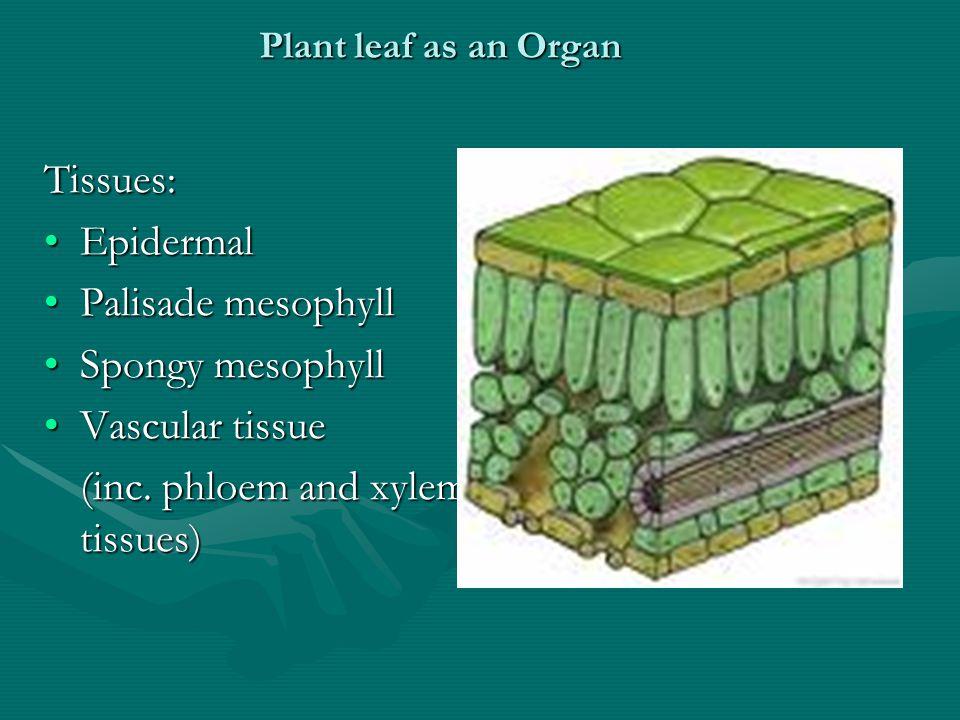 Tissues: EpidermalEpidermal Palisade mesophyllPalisade mesophyll Spongy mesophyllSpongy mesophyll Vascular tissueVascular tissue (inc.