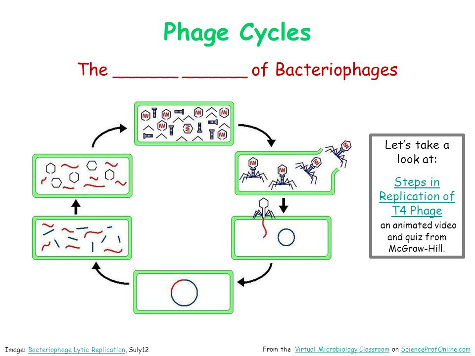 Image: Bacteriophage Lysogenic Replication, Suly12Bacteriophage Lysogenic Replication The __________ ______ of Bacteriophages Phage Cycles From the Virtual Microbiology Classroom on ScienceProfOnline.comVirtual Microbiology ClassroomScienceProfOnline.com