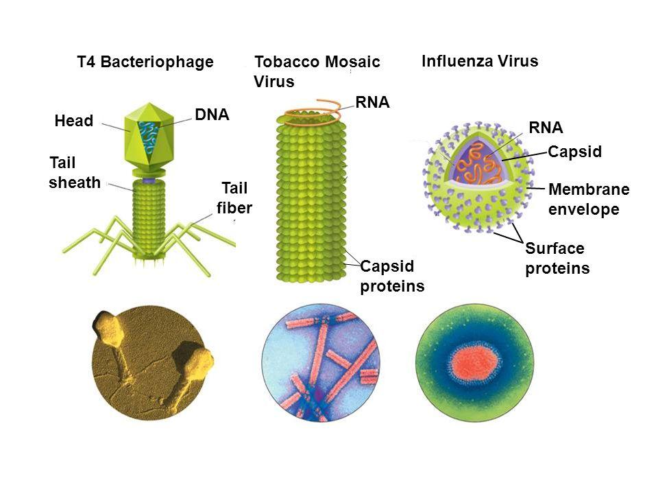 Head Tail sheath DNA T4 Bacteriophage Tobacco Mosaic Virus Influenza Virus RNA Membrane envelope Tail fiber RNA Capsid proteins Capsid Surface protein