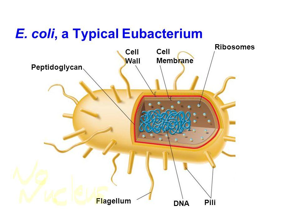 E. coli, a Typical Eubacterium Peptidoglycan Cell Membrane Ribosomes Pili DNA Flagellum Cell Wall