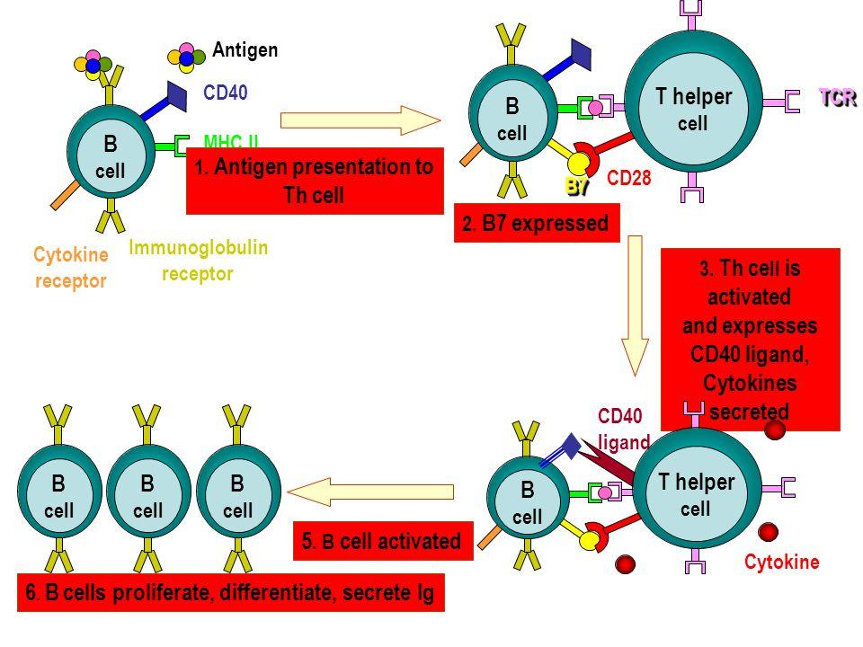 CD40 Immunoglobulin receptor MHC II Antigen Cytokine receptor B cell B7B7 CD28 TCRTCR T helper cell 1.