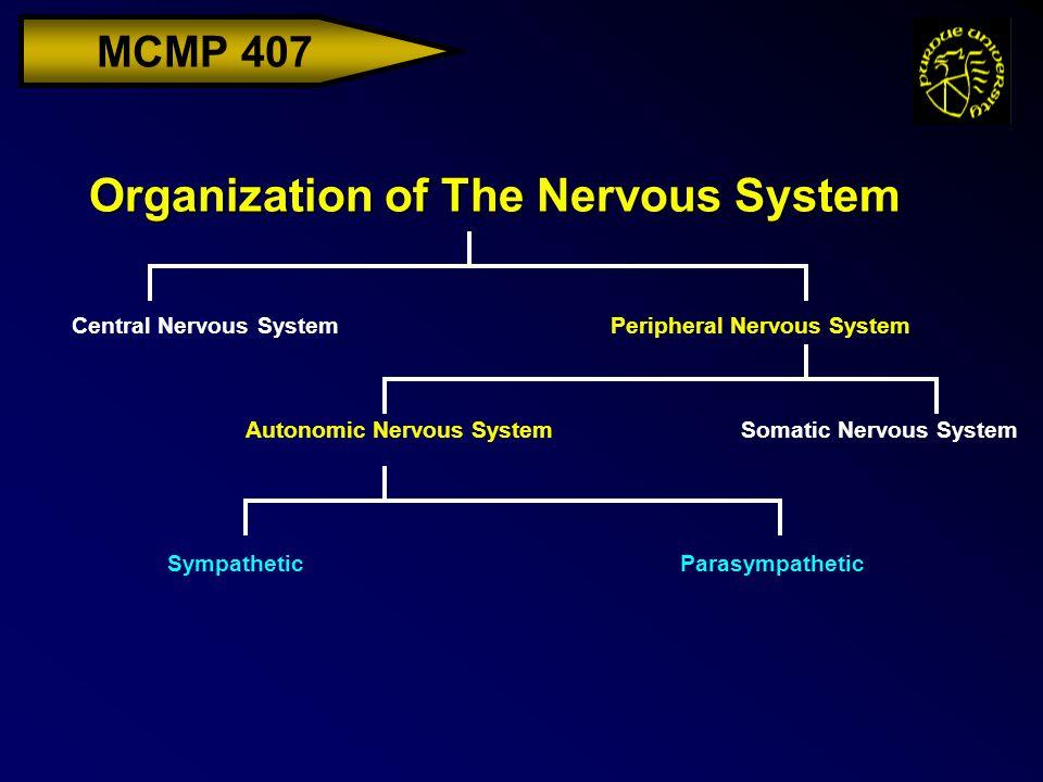MCMP 407 Organization of The Nervous System Central Nervous SystemPeripheral Nervous System Somatic Nervous SystemAutonomic Nervous System Sympathetic