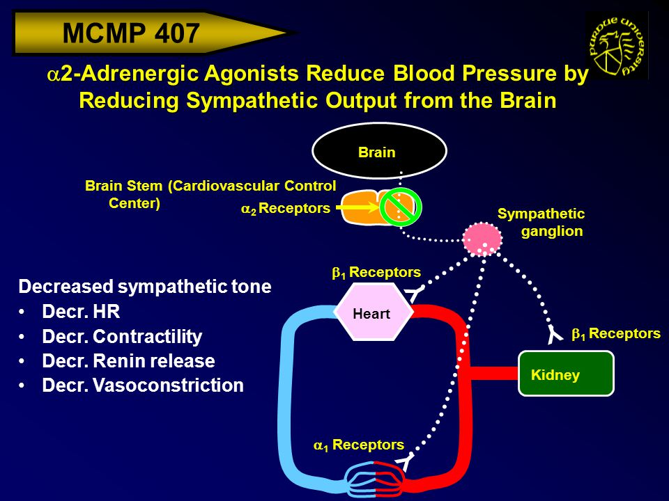 MCMP 407  2-Adrenergic Agonists Reduce Blood Pressure by Reducing Sympathetic Output from the Brain Brain Brain Stem (Cardiovascular Control Center)