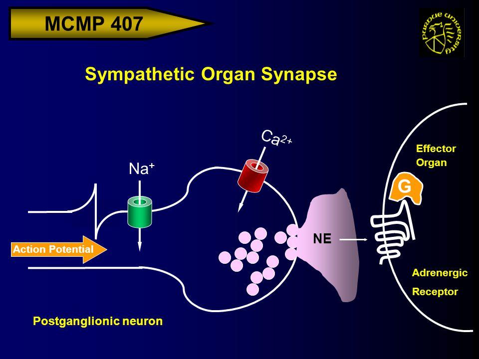 MCMP 407 Action Potential Ca 2+ Na + NE Sympathetic Organ Synapse G Effector Organ Postganglionic neuron Adrenergic Receptor