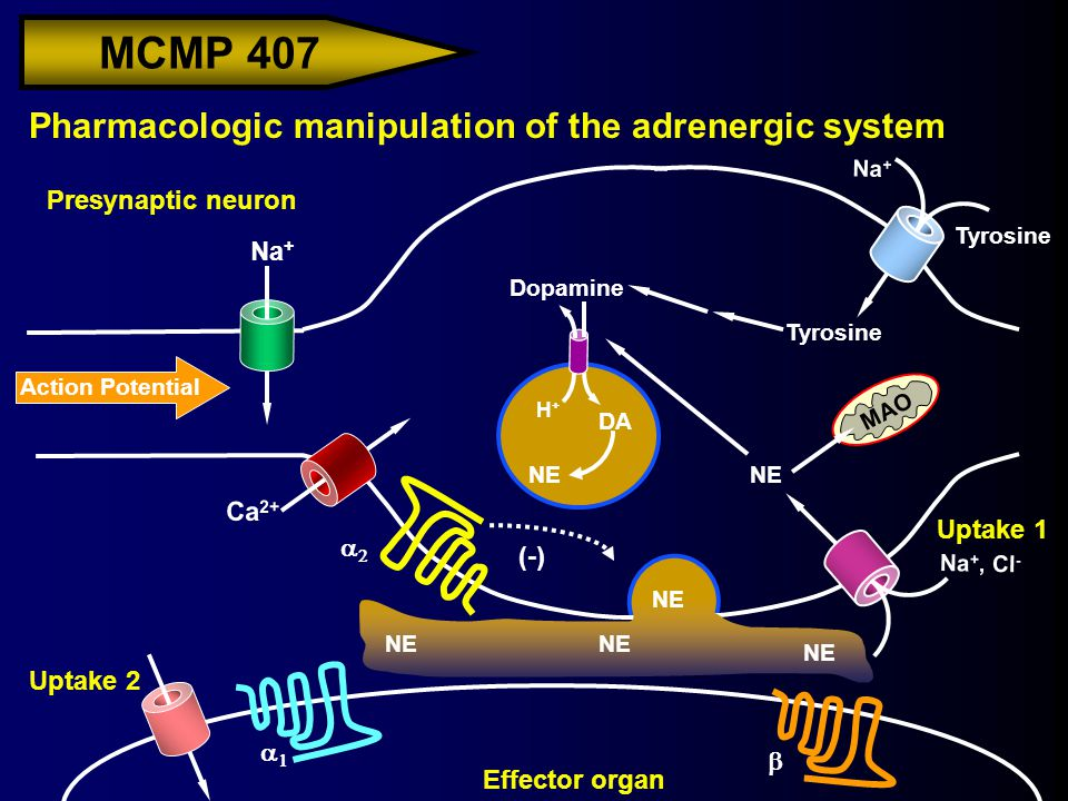 MCMP 407 Action Potential Na + Pharmacologic manipulation of the adrenergic system Presynaptic neuron H+H+ Effector organ Ca 2+ Na + Tyrosine Dopamine