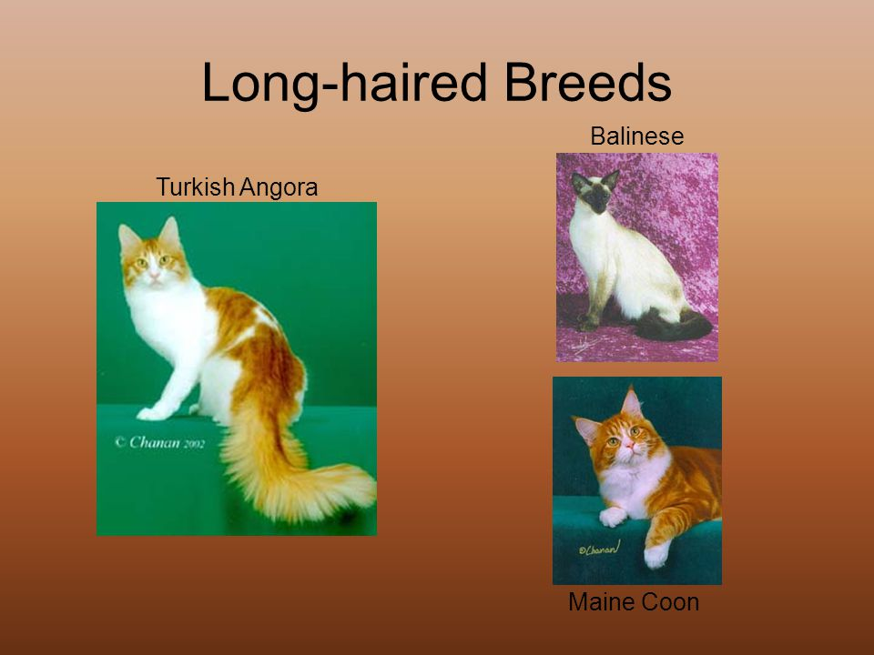 Long-haired Breeds Turkish Angora Balinese Maine Coon