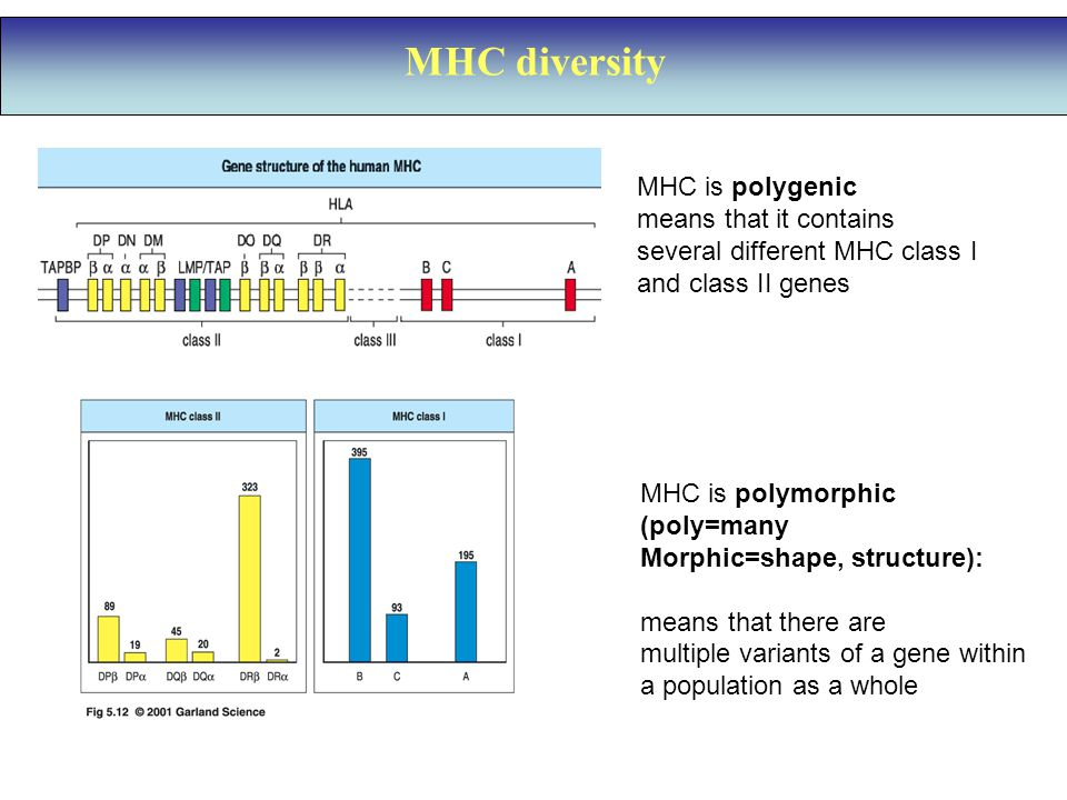 MHC diversity MHC is polygenic means that it contains several different MHC class I and class II genes MHC is polymorphic (poly=many Morphic=shape, structure): means that there are multiple variants of a gene within a population as a whole