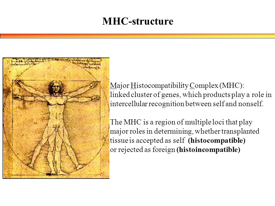 MHC-structure Major Histocompatibility Complex (MHC): linked cluster of genes, which products play a role in intercellular recognition between self and nonself.
