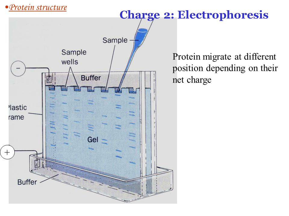 + Charge 2: Electrophoresis Protein migrate at different position depending on their net charge Protein structure