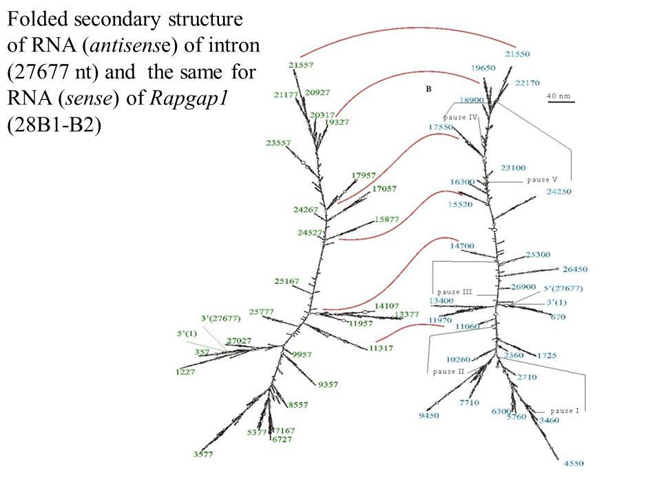 Folded secondary structure of RNA (antisense) of intron (14361 nt) and the same for RNA (sense) of ia2 gene (locus 21E3-E3)