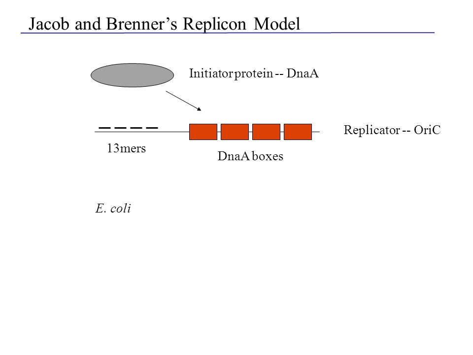 Jacob and Brenner's Replicon Model Initiator protein -- DnaA Replicator -- OriC 13mers DnaA boxes E. coli