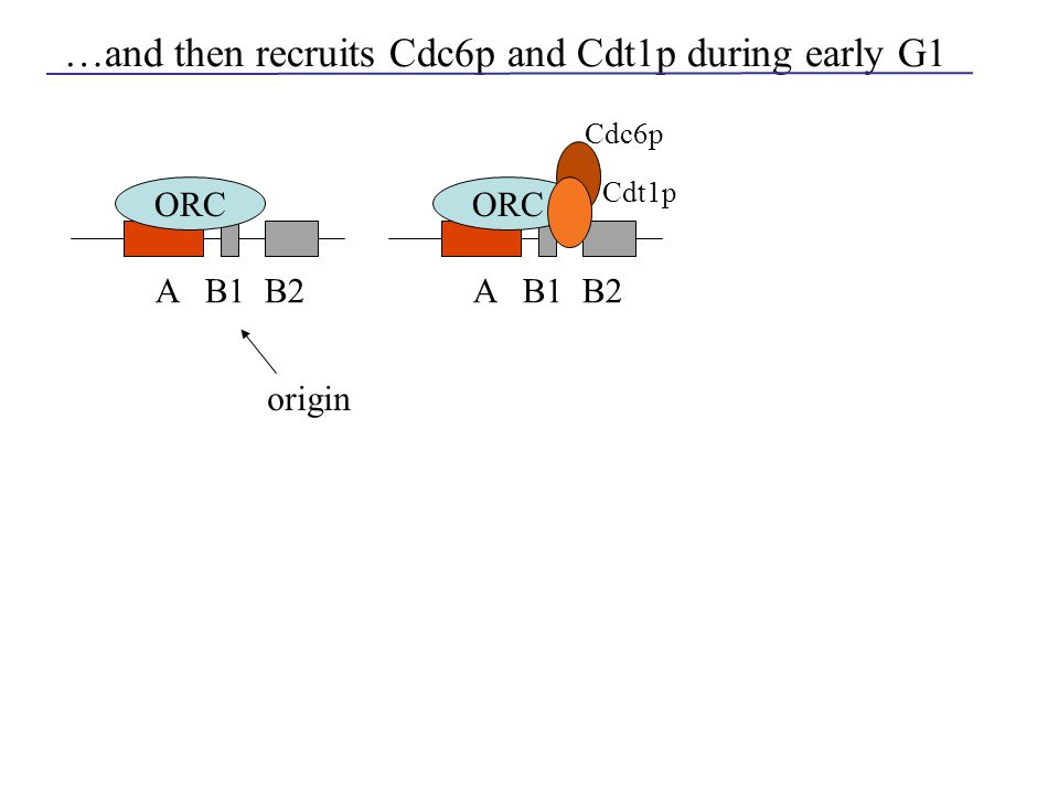 …and then recruits Cdc6p and Cdt1p during early G1 origin A B1 B2 ORC A B1 B2 ORC Cdc6p Cdt1p