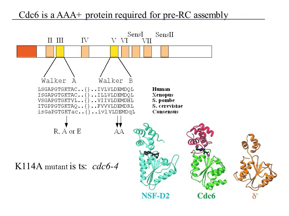 Cdc6 is a AAA+ protein required for pre-RC assembly K114A mutant is ts: cdc6-4