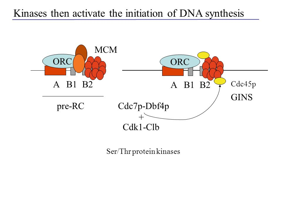 MCM A B1 B2 ORC A B1 B2 ORC Cdc45p Cdc7p-Dbf4ppre-RC Kinases then activate the initiation of DNA synthesis Cdk1-Clb + GINS Ser/Thr protein kinases