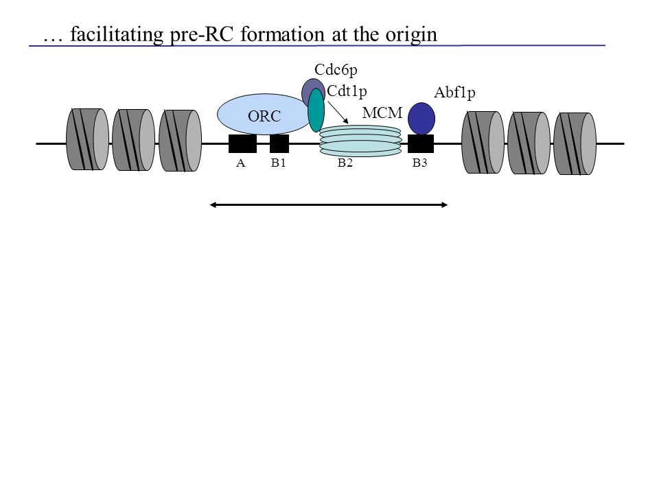 … facilitating pre-RC formation at the origin AB1B2B3 ORC Abf1p Cdc6p MCM Cdt1p