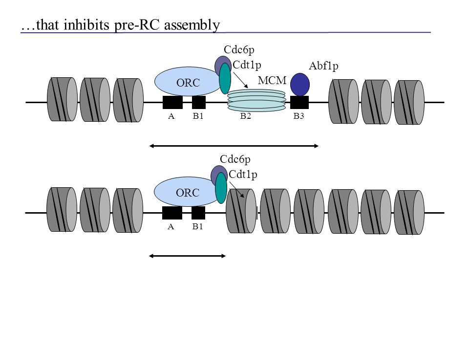 AB1B2B3 ORC Abf1p AB1B2 ORC …that inhibits pre-RC assembly Cdc6p MCM Cdt1p Cdc6p Cdt1p